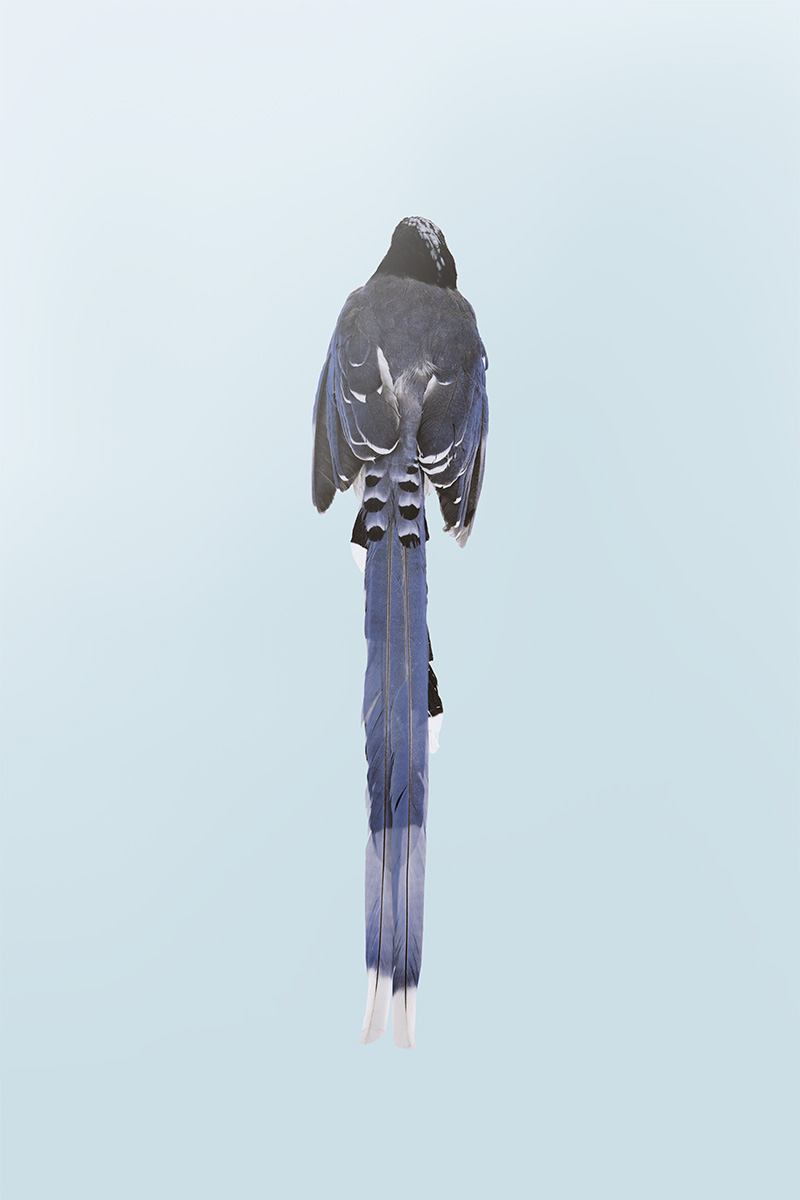 hybrid taiwan blue magpie